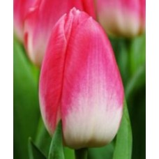 Тюльпан розово-белый