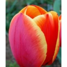 Тюльпан красный с  жёлтой каймой