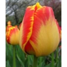 Тюльпан жёлто-красный