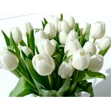 Тюльпан белый оптом